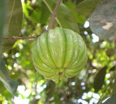 Image by en.wikipedia.org/wiki/Garcinia_gummi-gutta